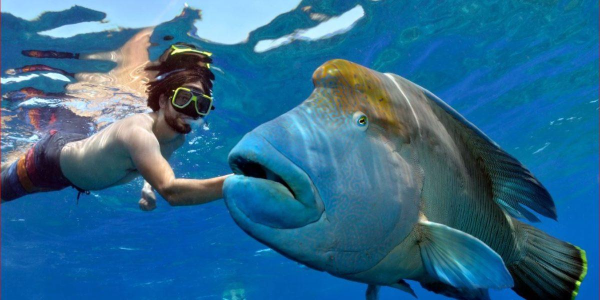 snorkel with giant maori wrasse